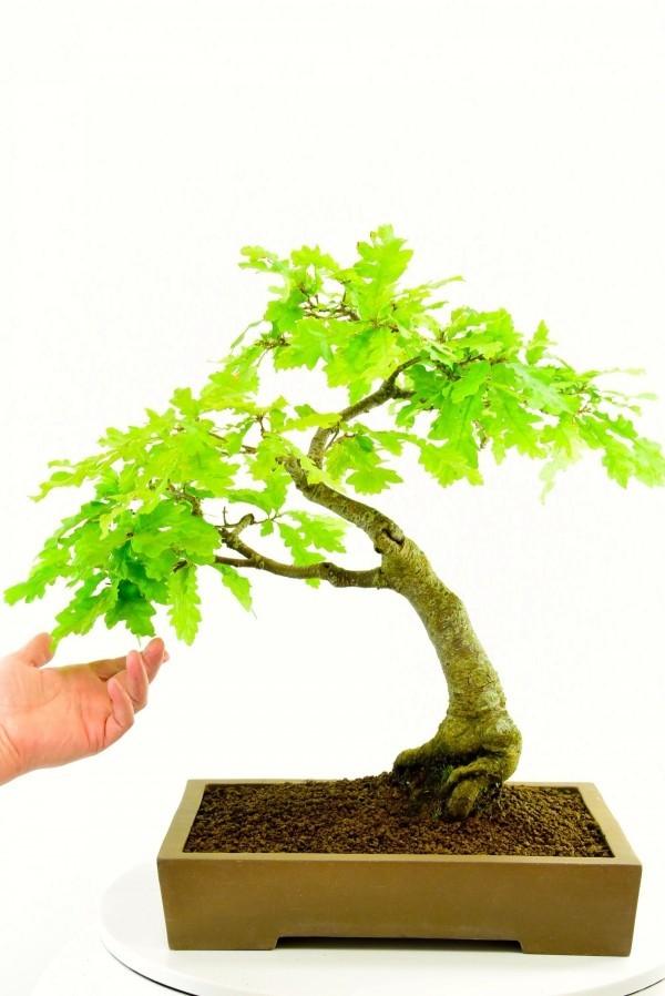 Bonsai Baum helle blätter