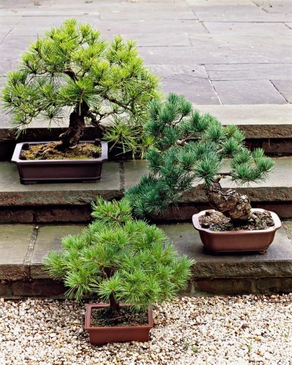 Bonsai Baum in einem tollen Kiesgarten
