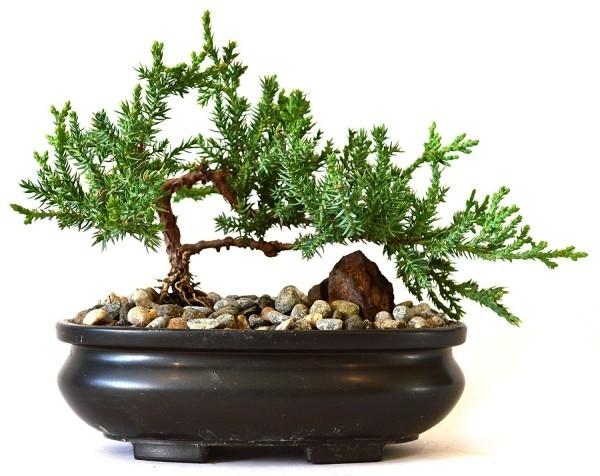 Bonsai Baum kies idee
