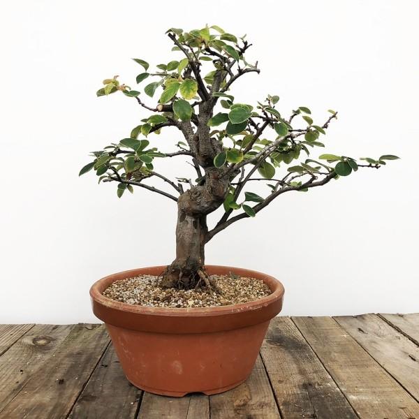 Bonsai Baum mit nur wenigen Blättern
