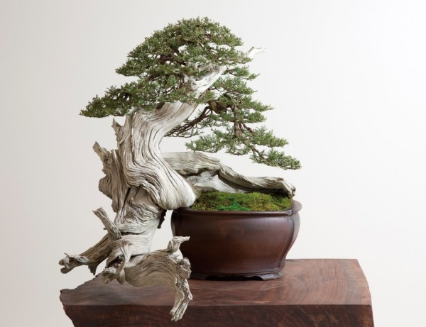 Bonsai Baum originelle form