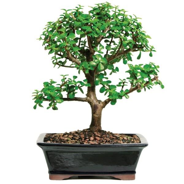 Bonsai Baum runde blätter