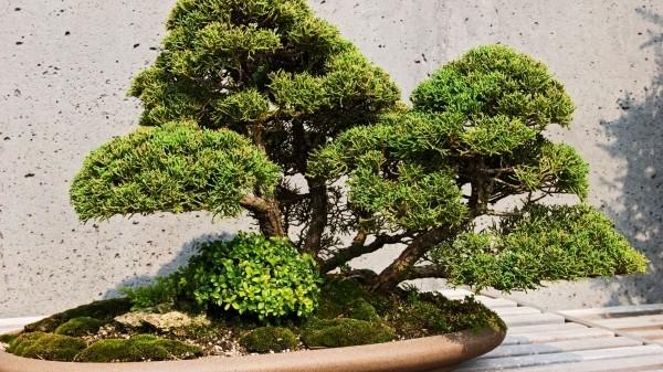 Bonsai Baum schöne Textur an den Blättern