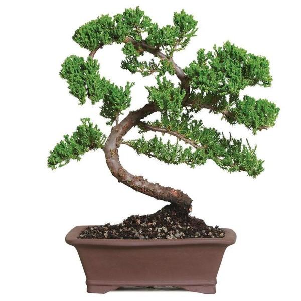 Bonsai Baum tolle Abbiegungen