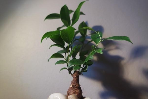 Bonsai Baum - tolle breite Blätter