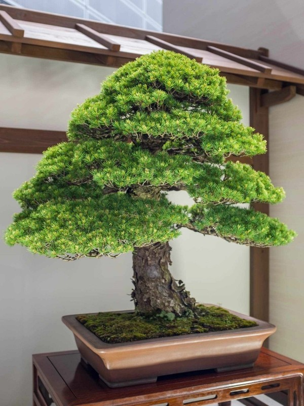 Bonsai Baum wie im Regenwald