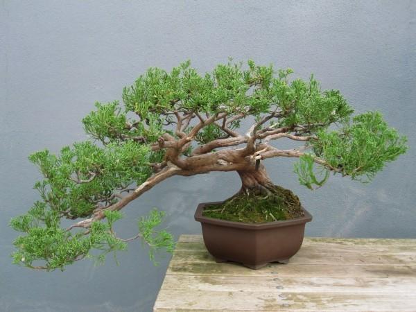Bonsai Baum wunderbare Idee