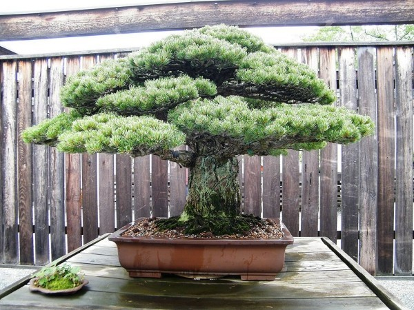 Ein Zaun und davor - Bonsai Baum