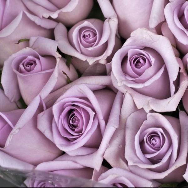 Farbsymbolik der Rosen Flieder Farbe