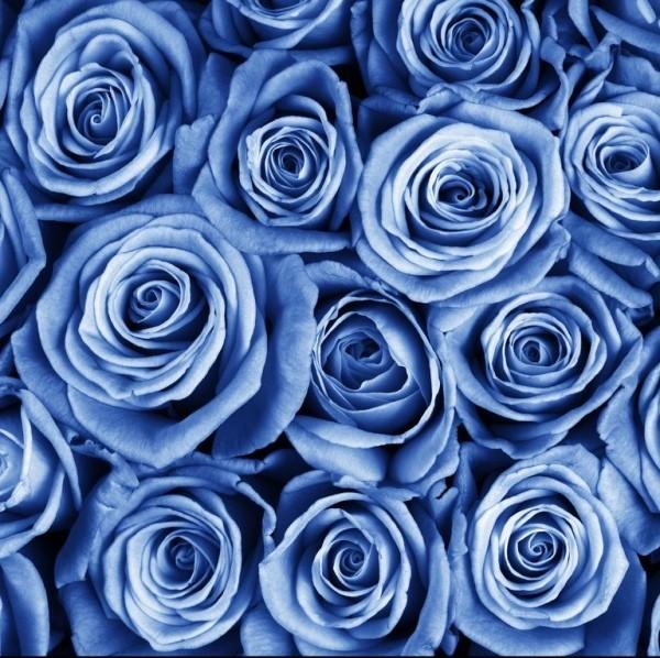Farbsymbolik der Rosen blaue Rose sehr effektvoll stehen für Extravaganz und Rebellion