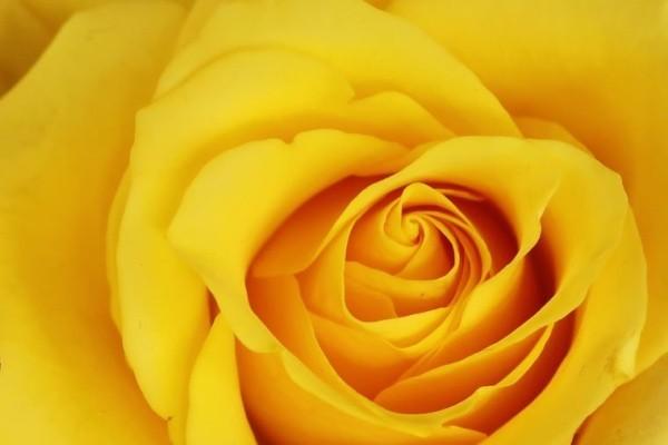 Farbsymbolik der Rosen gelbe Rose symbolisiert Eifersucht Missgunst