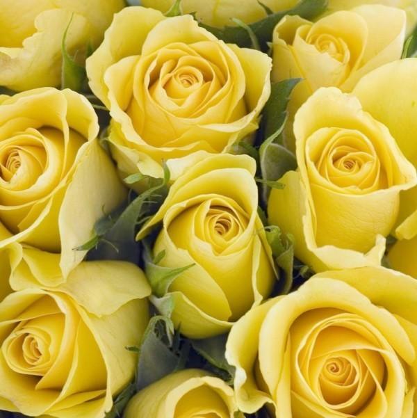 Farbsymbolik der Rosen gelbe Rosen widersprüchliche Bedeutung