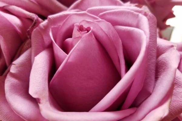 Farbsymbolik der Rosen gesättigte Rosanuance ideen