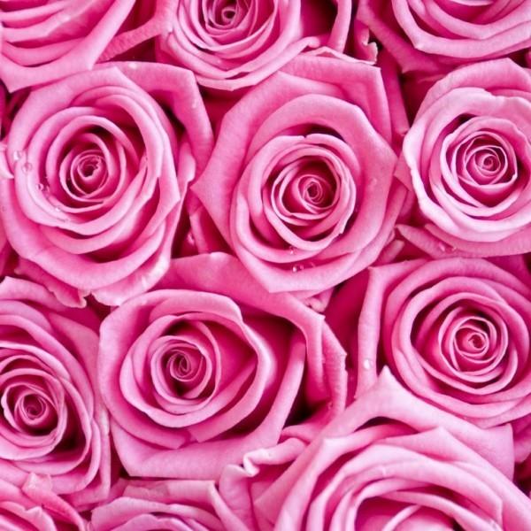 Farbsymbolik der Rosen gesättigte Rosanuance
