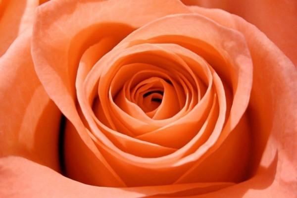 Farbsymbolik der Rosen gesättigtes Orange wunderschön