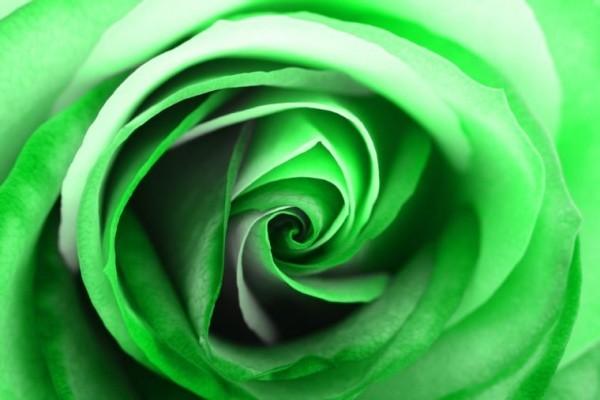 Farbsymbolik der Rosen grüne Rose künstlich gefärbt ideen