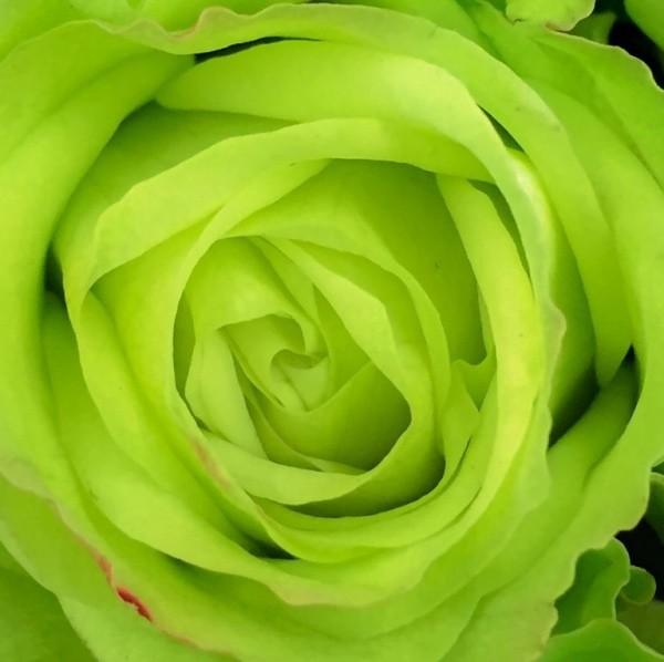 Farbsymbolik der Rosen grüne Rose künstlich gefärbt