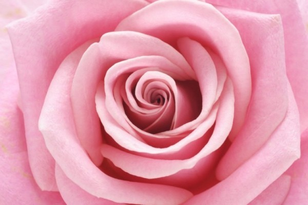 Farbsymbolik der Rosen helle Rosanuance Schönheit aus Natur