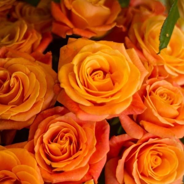 Farbsymbolik der Rosen orange Rosen Sinnbild von Glück