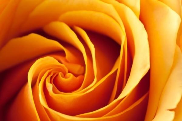Farbsymbolik der Rosen pfirsichorange Rose drückt Dankbarkeit aus