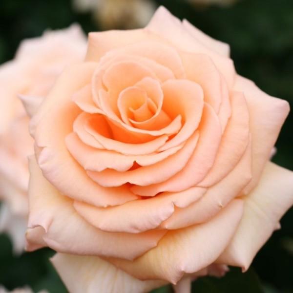 farbsymbolik der rosen welche geheimnisse sind dort. Black Bedroom Furniture Sets. Home Design Ideas