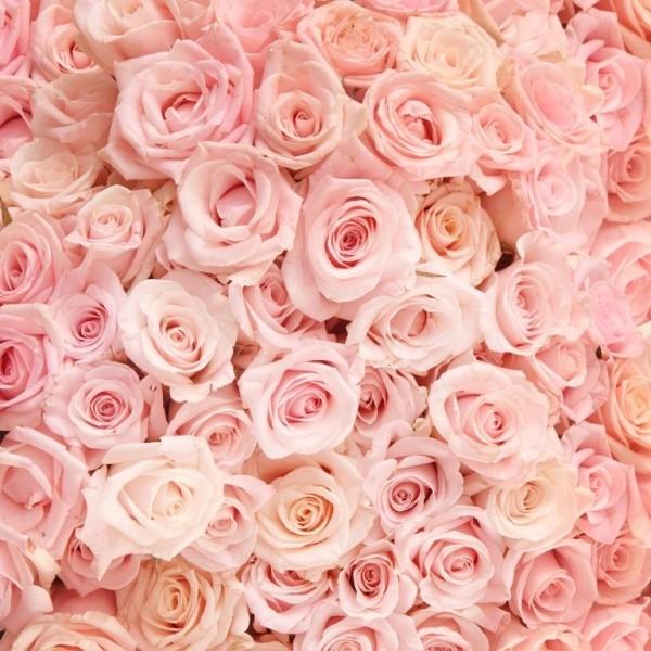 Farbsymbolik der Rosen rosa Rosen zarte Nuancen bezaubernd schön