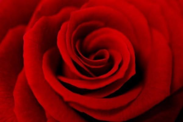 Farbsymbolik der Rosen rote Rosen zeitloses Symbol der Liebe Leidenschaft