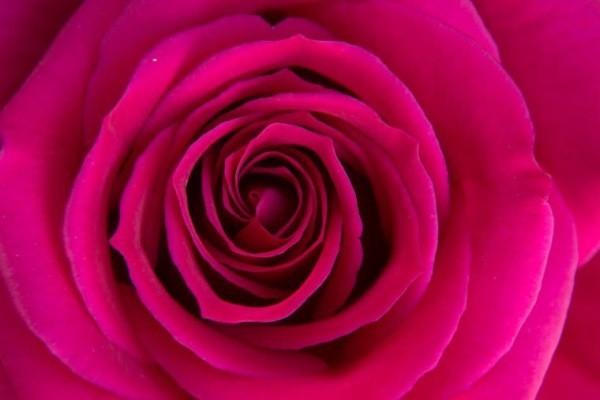 Farbsymbolik der Rosen violette Rose steht für Ausgleich Regeneration