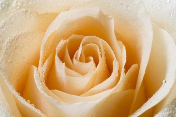 Farbsymbolik der Rosen weiß mit gelben Nuancen