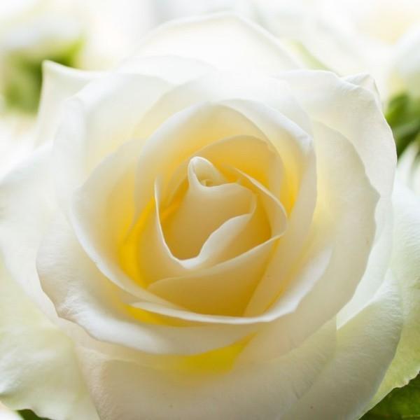 Farbsymbolik der Rosen weiße Rose Unschuld Reinheit