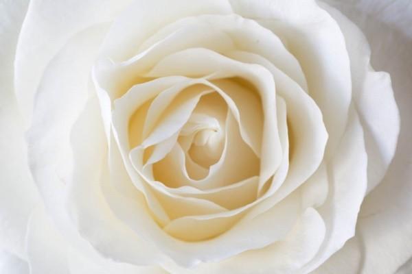 Farbsymbolik der Rosen weiße Rose weltweit Friedenssymbol