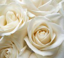 Farbsymbolik der Rosen – welche Geheimnisse sind dort kodiert?