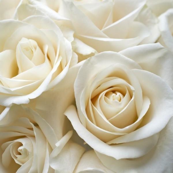 Farbsymbolik der Rosen weiße Rosen Symbol für Unschuld Reinheit Heiligkeit