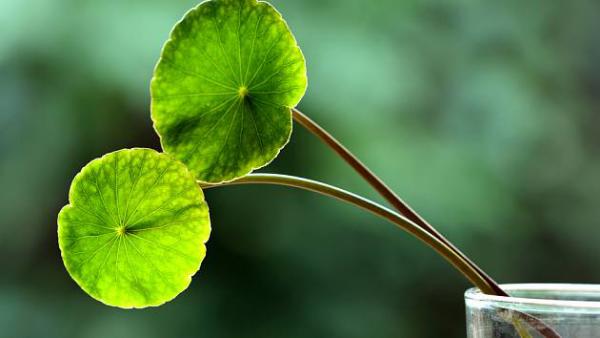 Gotu Kolas asiatisches Heilkraut grüne kreisrunde oder nierenförmige Blätter