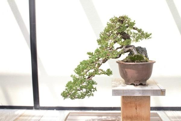 Kleine seitliche Kaskade Bonsai Baum