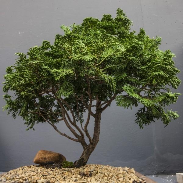 Nadelbaum - tolle Idee - Bonsai Baum
