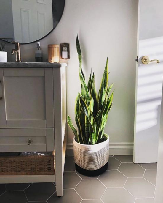 Pflanzen fürs Bad Bogenhanf im großen weißen Topf viel Grün