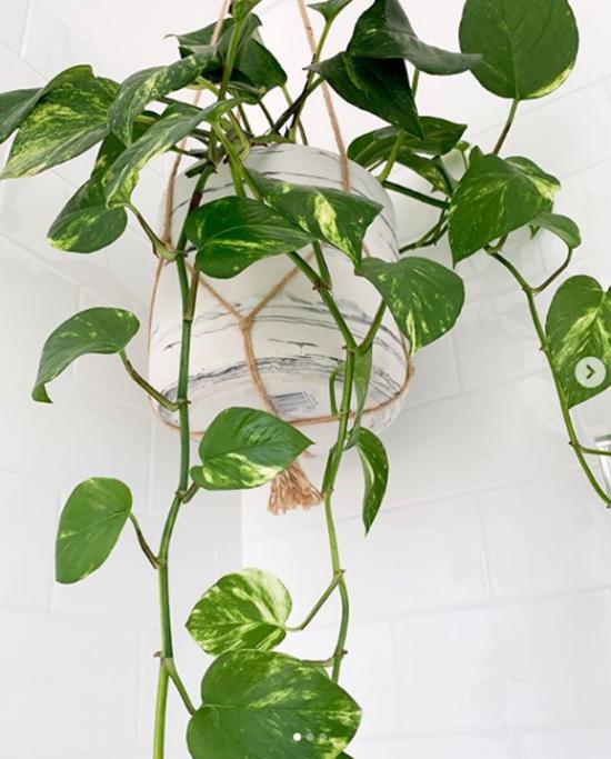 Pflanzen fürs Bad Efeutute richtiger Blickfang im Bad