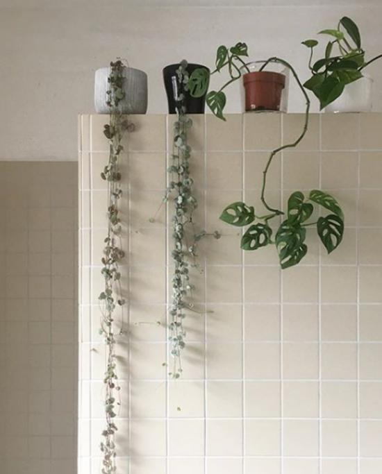 Pflanzen fürs Bad Erbsenpflanze Fensterbad erfrischen den nassen Raum