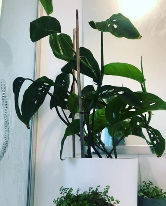 Pflanzen fürs Bad Fensterblatt beliebte Zimmerpflanze gedeiht auch im Bad