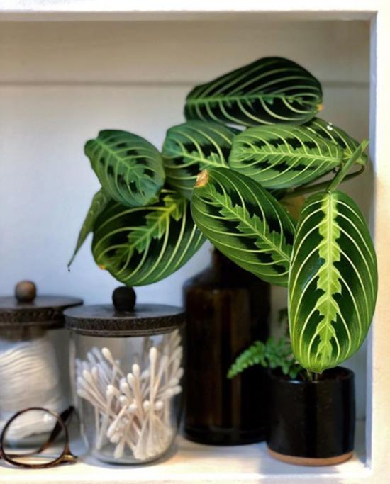 Pflanzen fürs Bad Pfeilwurz gefleckte Blätter mit roten Adern