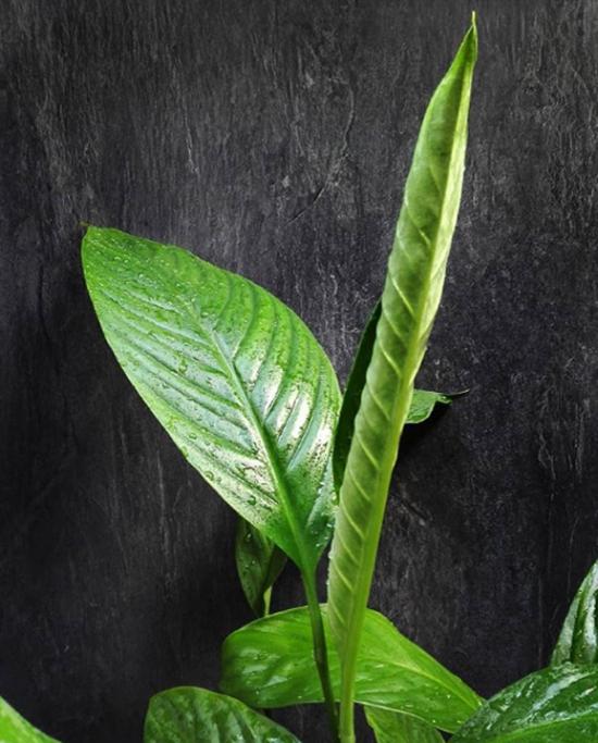 Pflanzen fürs Bad Schusterpalme schöne grüne glänzende Blätter gesundes Raumklima