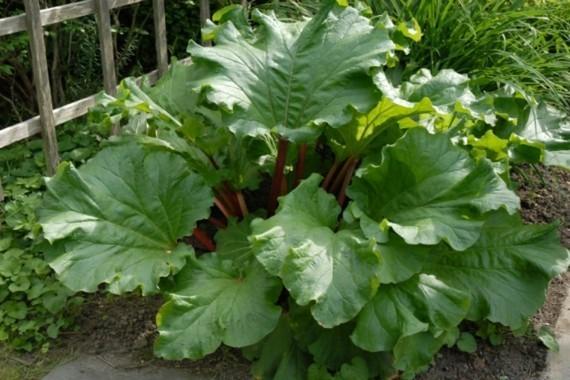Rhabarber ernten große Rhabarberpflanze Rhabarber Erntezeit