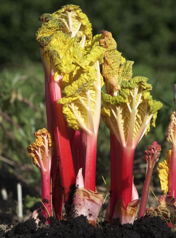 Rhabarber ernten kleine Rhabarberpflanze richtige Rhabarber Erntezeit