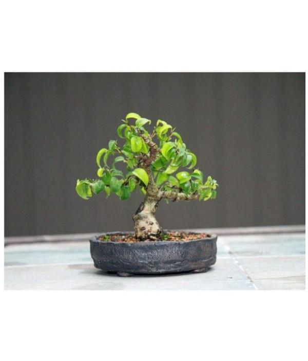 Topf und kleiner Format Bonsai Baum