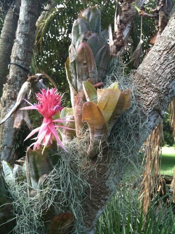 aechmea pflanze aus Amazonien