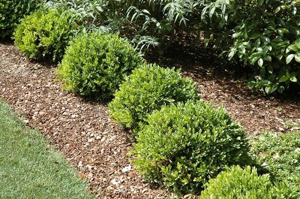 buchsbaumzünsler bekämpfen hausmittel und tipps