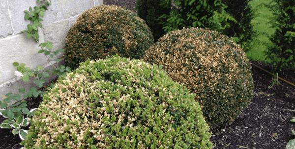 buchsbaumzünsler bekämpfen mit natürlichen mitteln