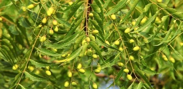 buchsbaumzünsler bekämpfen mit neem brühe