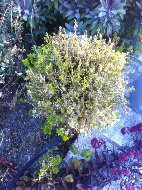 buchsbaumzünsler bekämpfen natürliche hausmittel